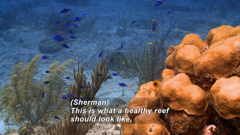 Coral reef in foreground, plant life, swimming fish and sandy ocean floor in background. Caption: (Sherman) This is what a healthy reef should look like,