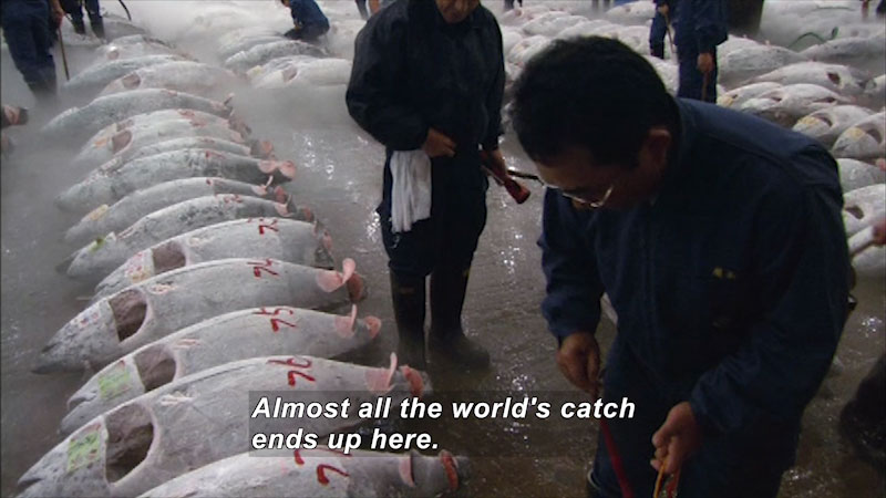 Rows of large frozen fish on the ground with people walking between the rows. Caption: Almost all the world's catch ends up here.
