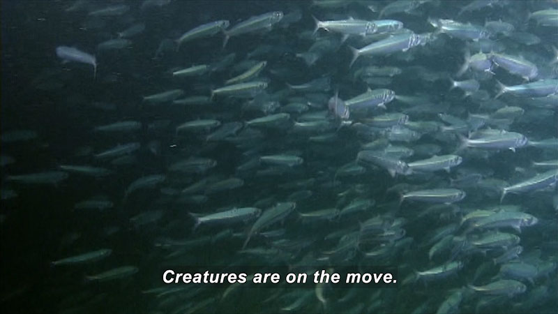 School of small, silver fish. Caption: Creatures are on the move.