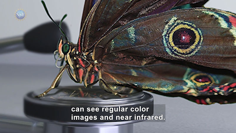 A butterfly sits on a metal head. Caption: can see regular color images and near infrared.