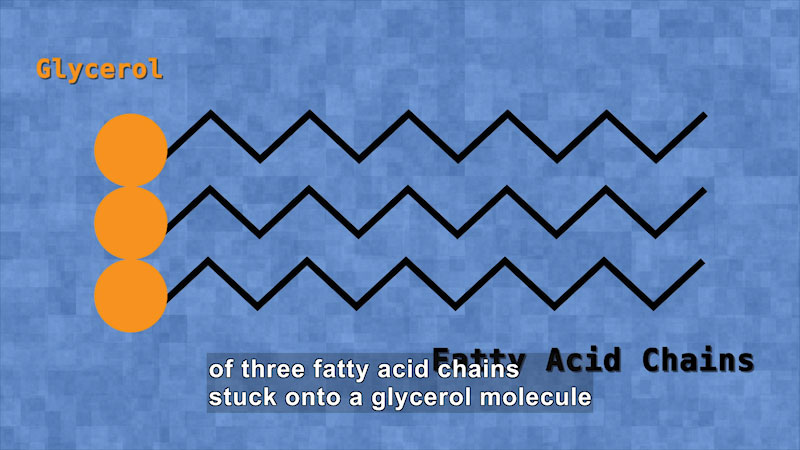 Illustration depicts glycerol in zig zag fatty acid chains.Caption: of three fatty acid chains stuck onto a glycerol molecule.