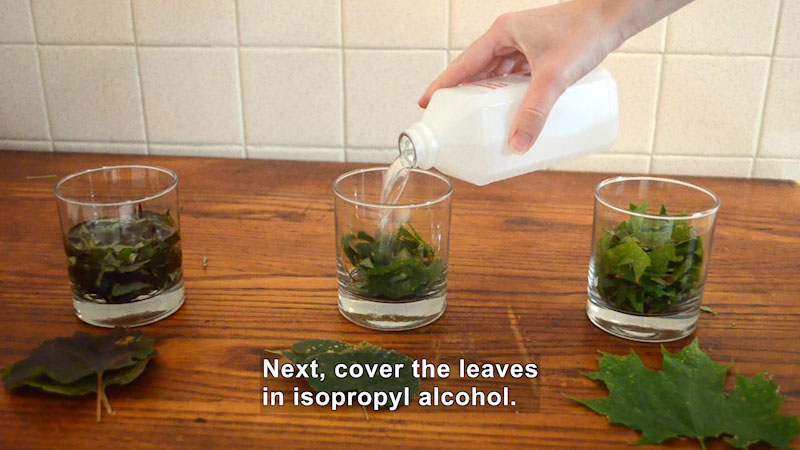 Three glasses are filled with leaves. To the second glass, isopropyl alcohol is added. Caption: Next, cover the leaves in isopropyl alcohol.