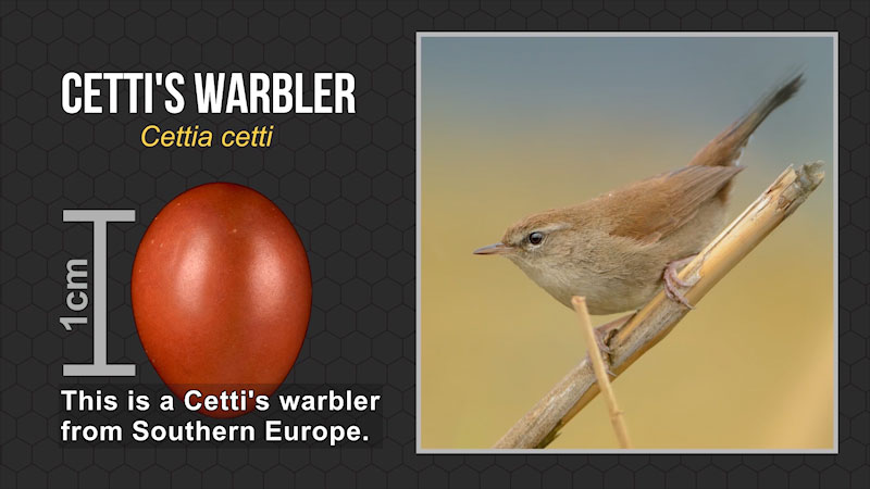 A photograph of Cetti's Warbler and its egg which measures 1 centimeter. On screen text, Cetti's Warbler, Cettia cetti. Caption: This is a Cetti's warbler from Southern Europe.