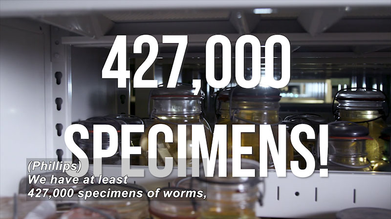 Specimens of worms are stacked in bottled jars. On screen text, 427,000 specimens. Caption: Philips, we have at least 427,000 specimens of worms,