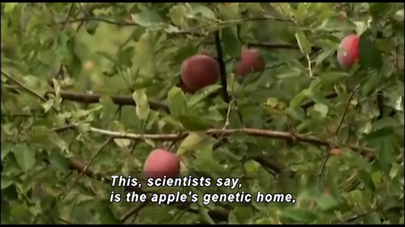 Apples hang from an apple tree. Caption: This, scientists say, is the apple's genetic home.