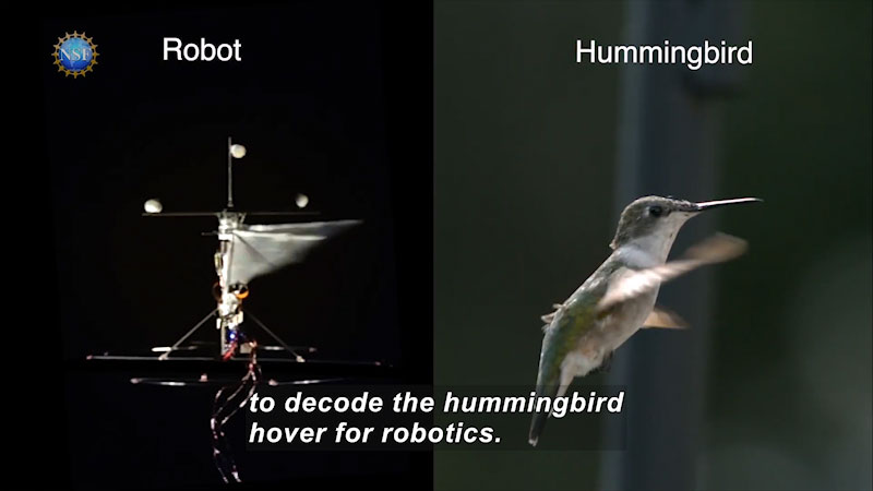 A flying robot and a hummingbird. Caption: to decode the hummingbird hover for robotics.