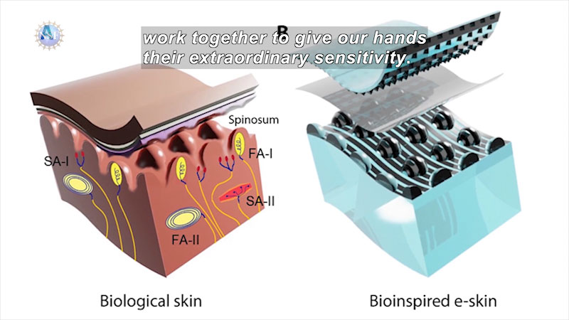 A biological skin and a bioinspired e skin. The e skin consists of synthetic layers instead of biological layers. Caption: work together to give our hands their extraordinary sensitivity.
