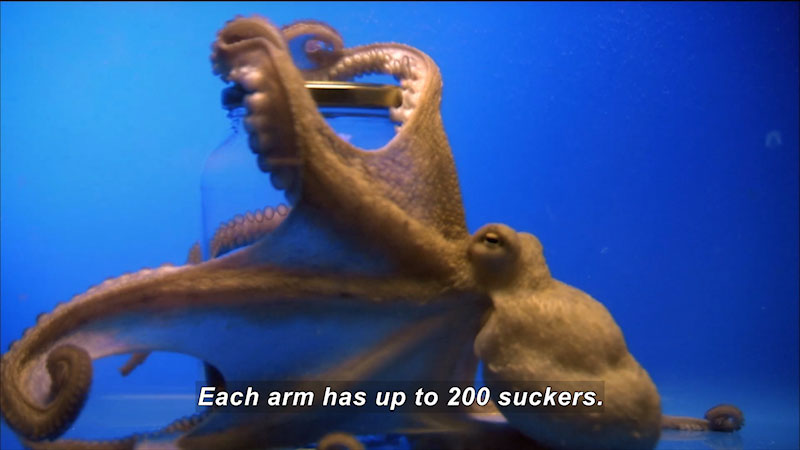 An Octopus holding on to a bottle. Caption: Each arm has upto 200 suckers.