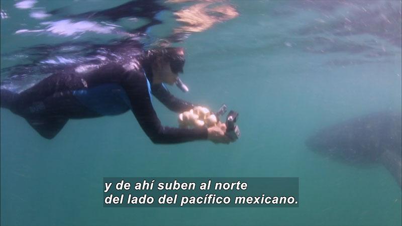 A man swimming underwater. Spanish Caption: y de ahi suben al norte del lado del pacifico mexicano.