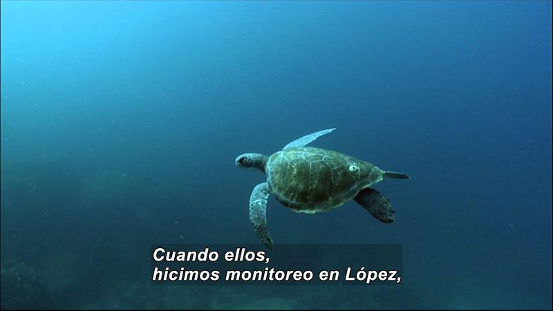A turtle swimming underwater. Spanish Caption: Cuando ellos, hicimos monitoreo en Lopez,
