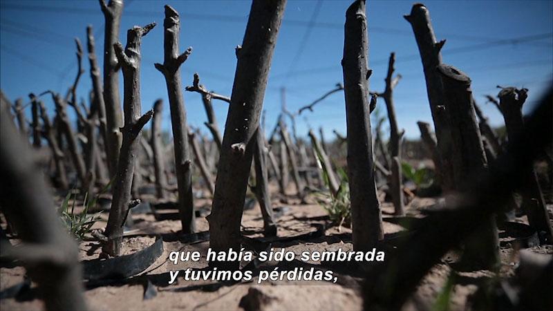 Twigs sticking out of the sandy ground. Spanish Caption: que habia sido sembrada y tuvimos perdidas,