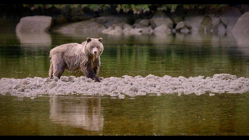 A bear in a river.