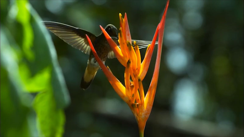 A hummingbird drinking nectar out of a flower.