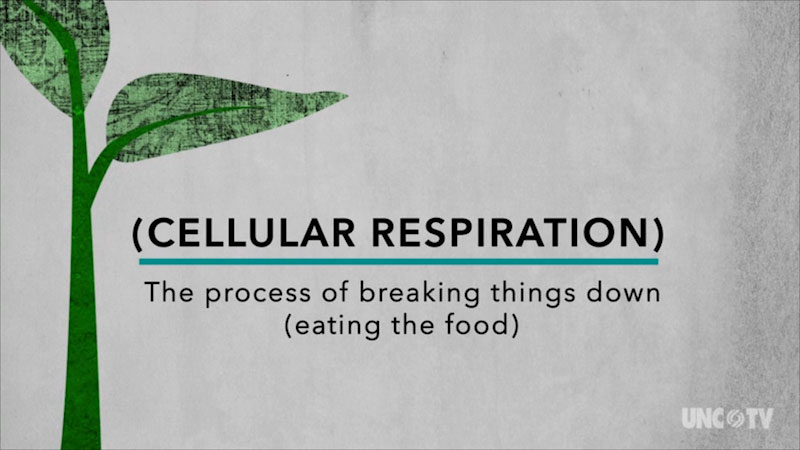 Cellular respiration, the process of breaking things down. Eating the food.