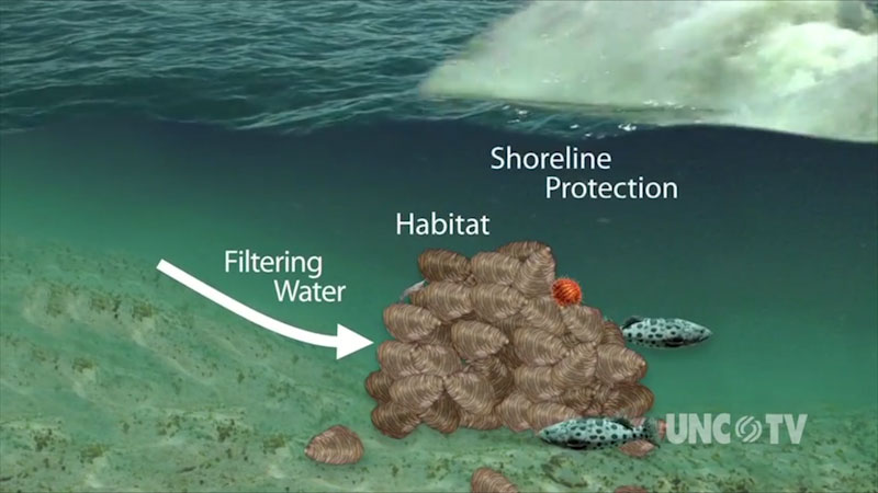 A diagram illustrates that the sea shell habitats filters the water and protect the shoreline.