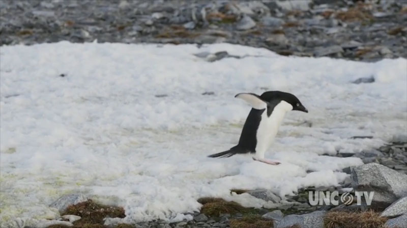 A penguin jumping from ice.