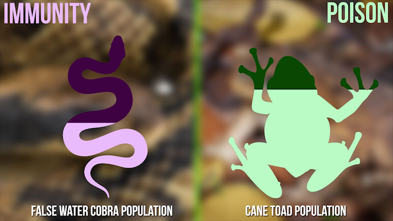A diagram compares the population of the false water cobra and the cane toad. The population of poisonous cane toad is higher than that of the immune false water cobra.