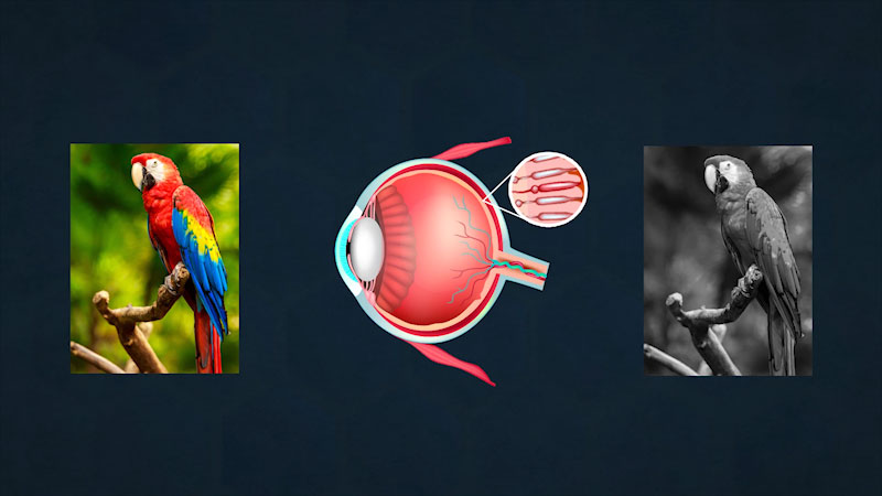 An enlarged view of the cells lining the retina is shown from an eyeball. A colorful and a black and white picture of parrot are shown on either side of the eyeball.