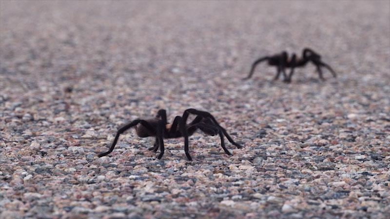 Two hairy Tarantulas crawling on the ground.