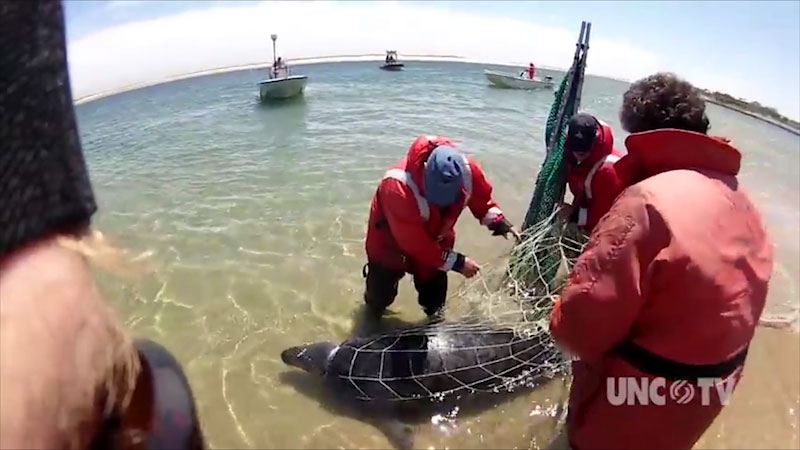 A group of scientists catch a gray seal in a net.