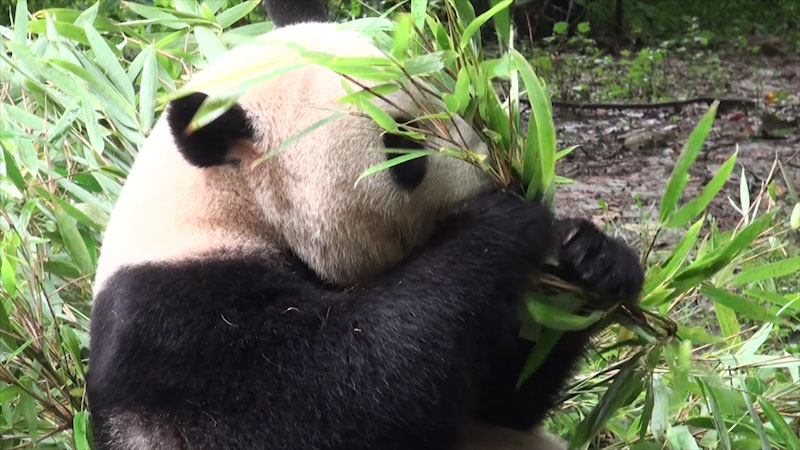 A panda eating bamboo shoots.