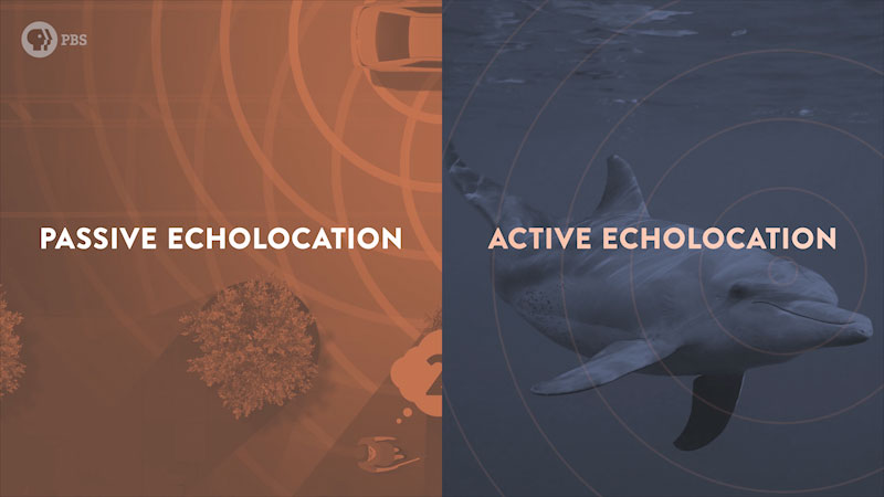 A comparison of passive echolocation used in vehicles and active echolocation in dolphins.