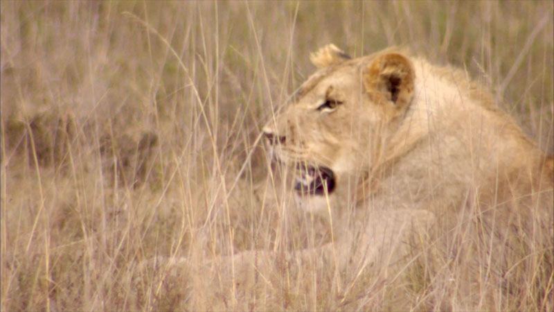 A lioness resting among dry yellow grass.