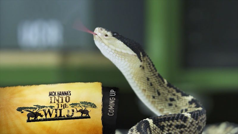 A snake with its tongue flickering in air. Caption, Coming Up, Jack Hanna's into the wild.