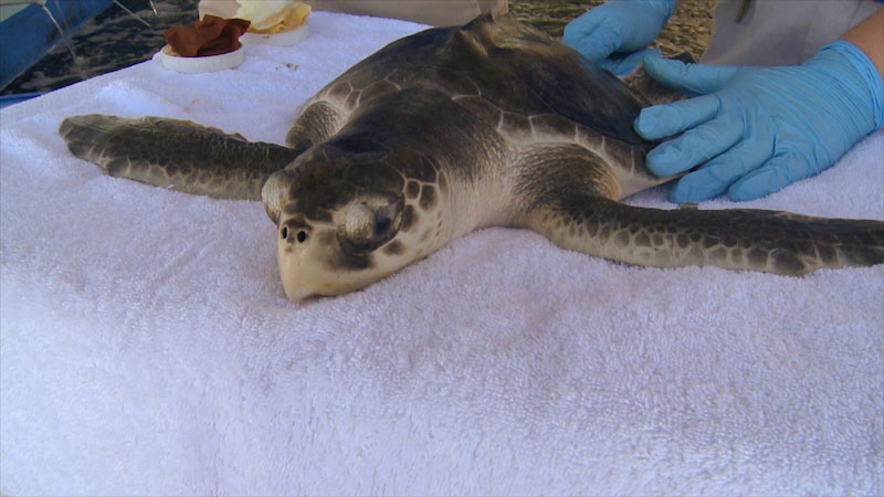 A veterinarian checks a sea turtle placed on a towel.