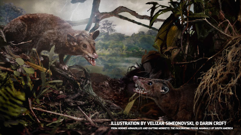 Two rat like creatures are seen fighting. Caption: Illustration by Velizar Simeonovski, copyright Darin Croft. From horned armadillos and rafting monkeys: The fascinating fossil mammals of South America.