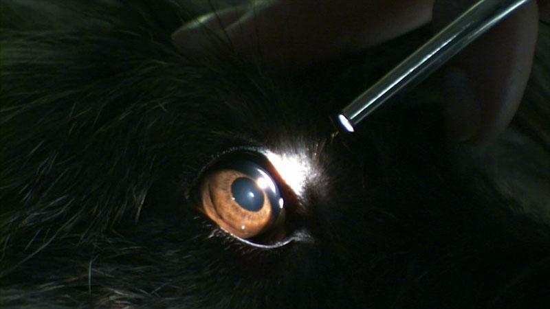 A focus light is shone on an animal's eye.