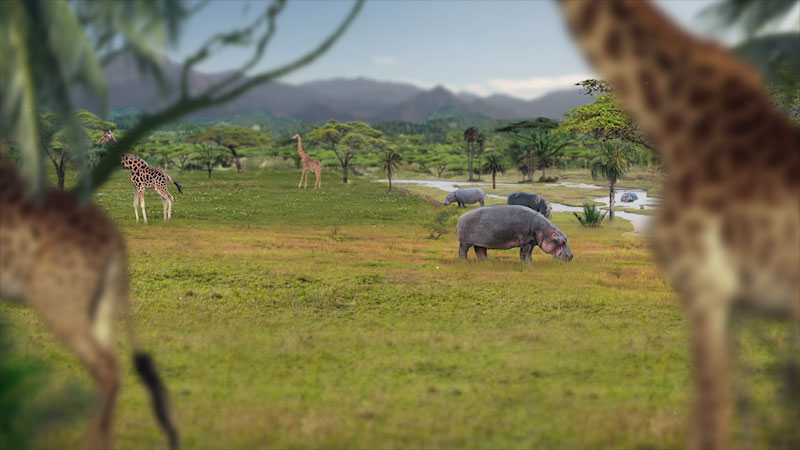 A group of Hippos and Giraffes are grazing in a forest.