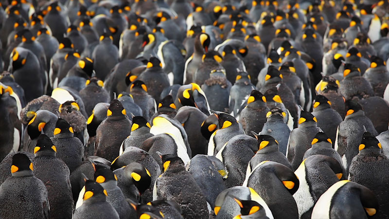 A large group of penguins.