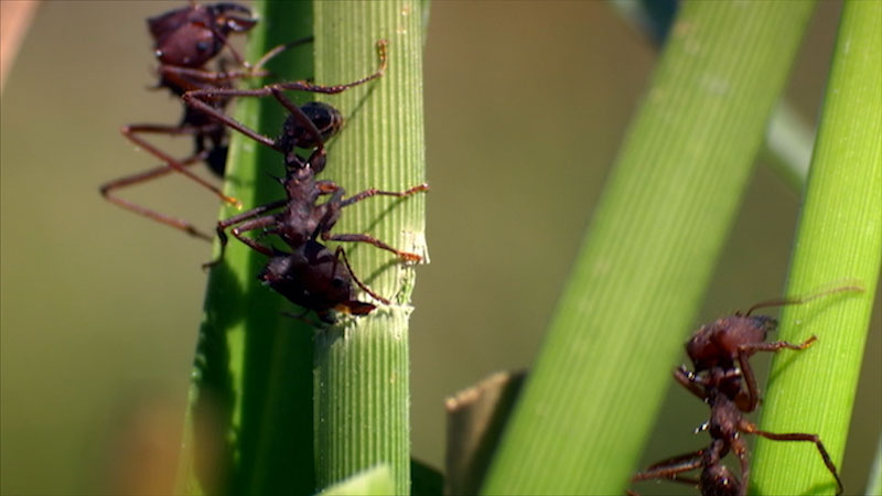 Ants climbing on the shoots of grass.