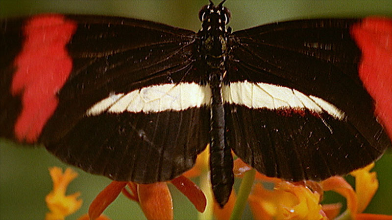 A butterfly with its wing spread out and sitting on a flower.