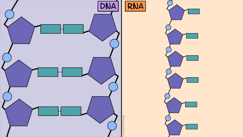 The molecular structure of D N A and R N A are depicted. Or The D N A double helix structure has two phosphate deoxyribose chains with the nucleotide bases are single bonded to it. The R N A single helix structure has a single phosphate deoxyribose chain with nucleotide bases attached to it.