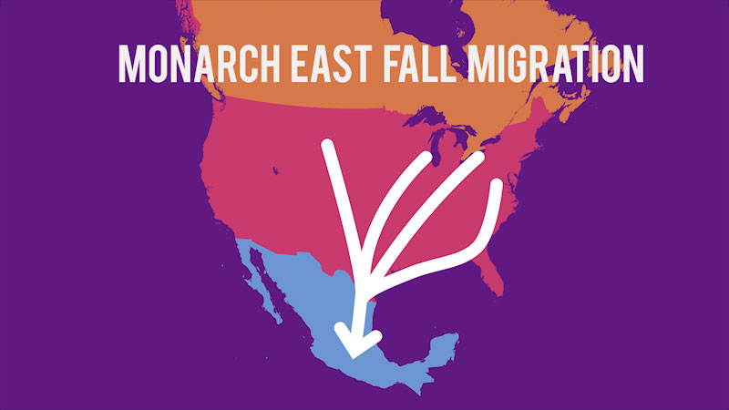 Still image from Spot on Science: Monarchs, Migration, and Milkweed