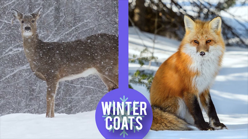 Still image from: Spot on Science: Wild Animals in Winter
