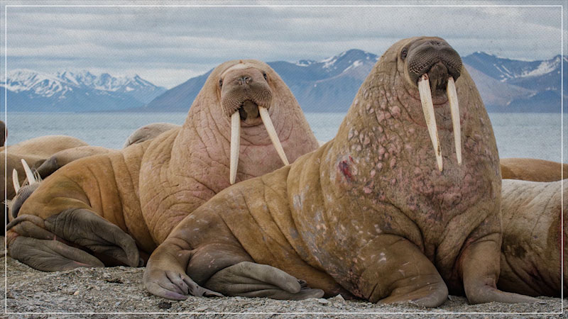 Still image from: Eons: How the Walrus Got Its Tusks