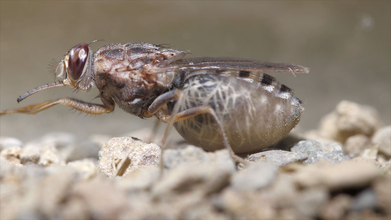 Still image from: Deep Look: A Tsetse Fly Births One Enormous Milk-Fed Baby