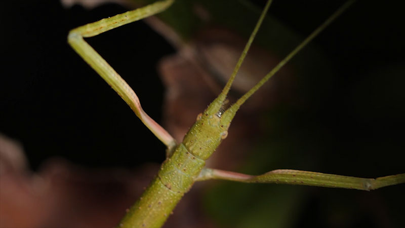 Still image from: Deep Look: Walking Sticks Stop, Drop and Clone To Survive
