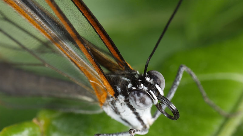 Still image from: Deep Look: Glasswing Butterflies Want To Make Something Perfectly Clear
