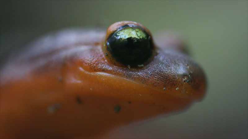 Still image from: Deep Look: Ensatina Salamanders Are Heading for a Family Split