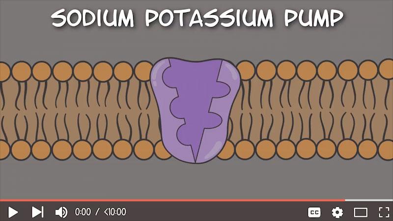 Still image from The Amoeba Sisters: Sodium-Potassium Pump