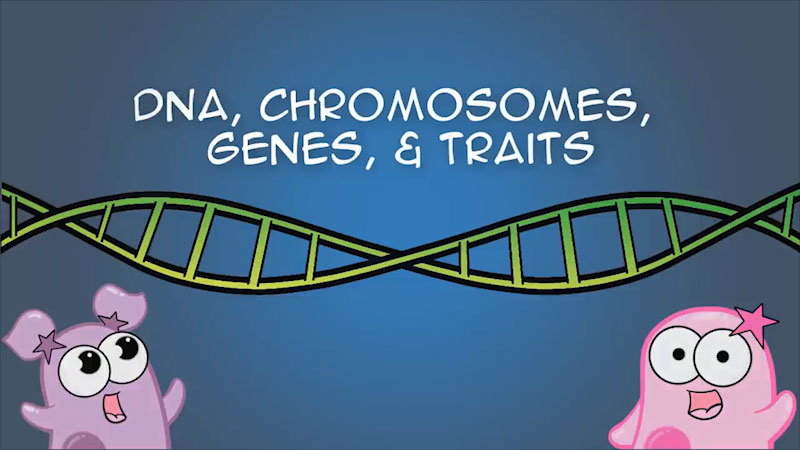 Still image from The Amoeba Sisters: DNA, Chromosomes, Genes, Traits--An Intro To Heredity