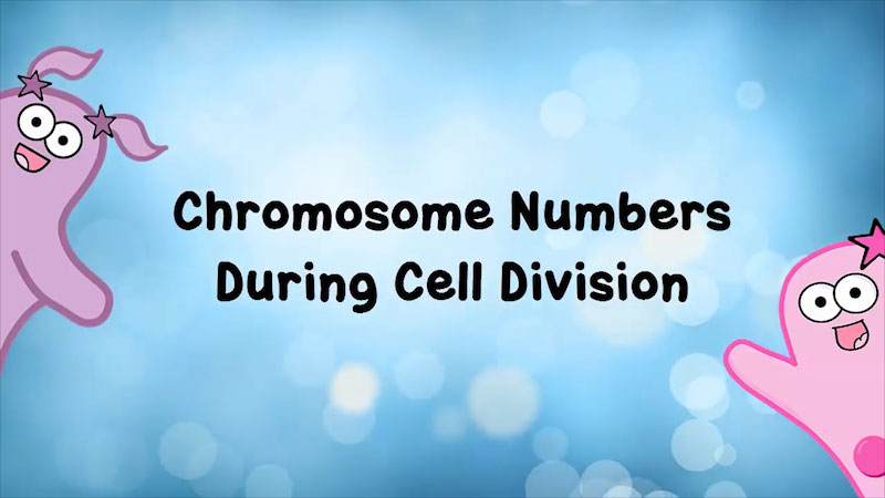 Still image from: The Amoeba Sisters: Chromosome Numbers During Division