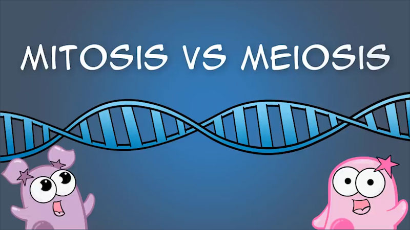 Still image from The Amoeba Sisters: Mitosis vs Meiosis