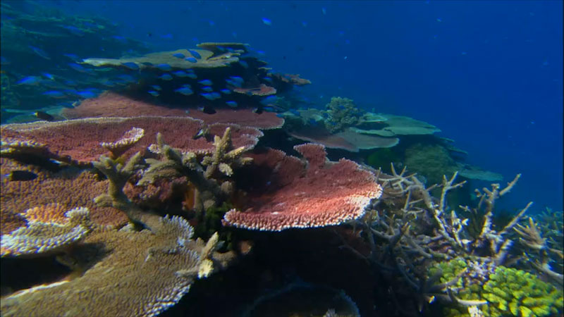 Still image from: Climate Change and Coral Reefs: Coral Bleaching (Module 2)