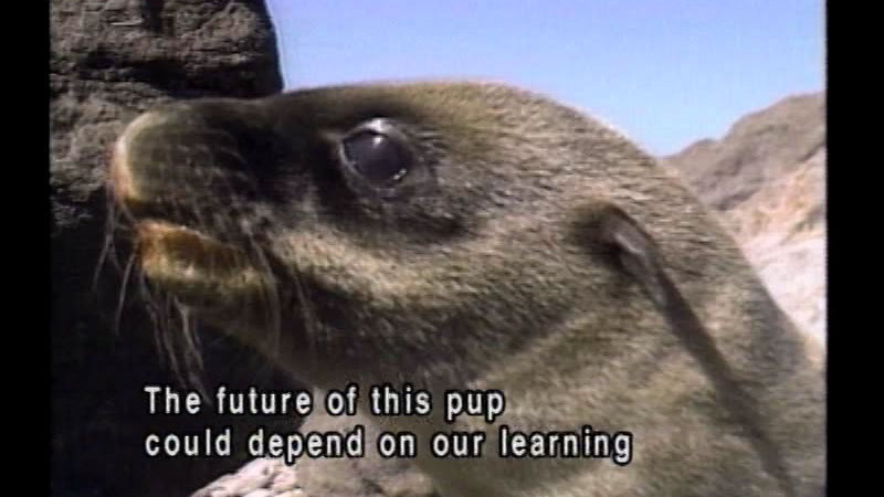 Closeup of a sea lion's head. Caption: The future of this pup could depend on our learning