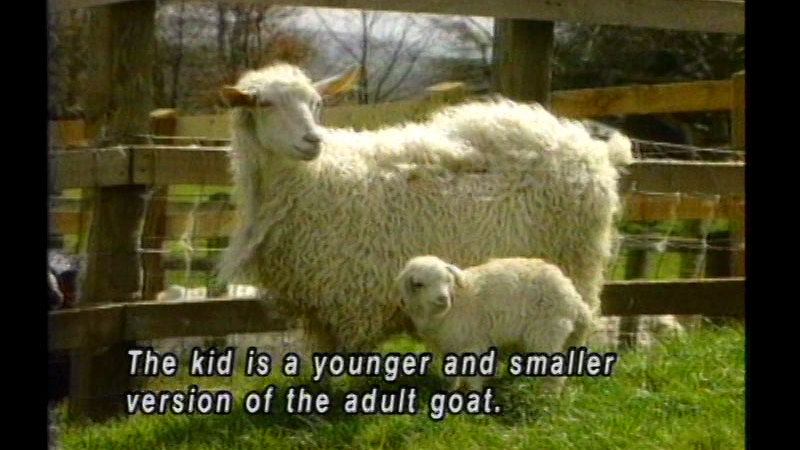 Adult and baby goat standing next to each other. Caption: The kid is a younger and smaller version of the adult goat.